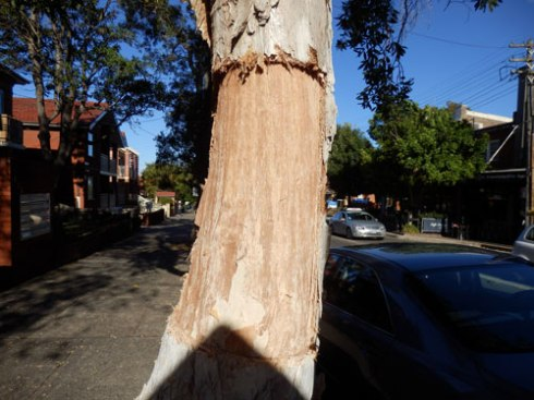 Seen last week - a Paperbark street tree on Marrickville Road Dulwich Hill had a massive piece of bark cut out of the trunk.