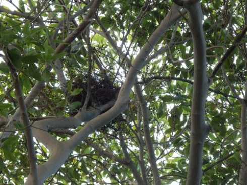 This nest sways with the upper canopy
