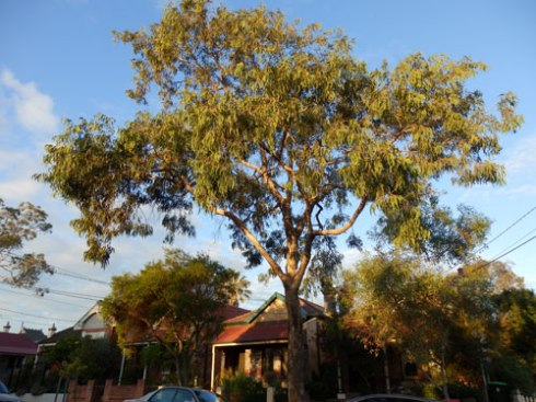 Streetscape in Dulwich Hill where there are quite a few tall street trees.