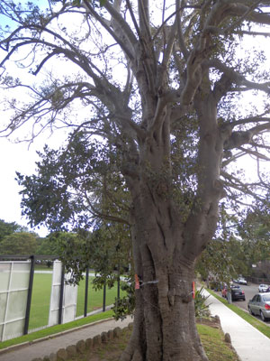 Another view of this Fig tree up for removal