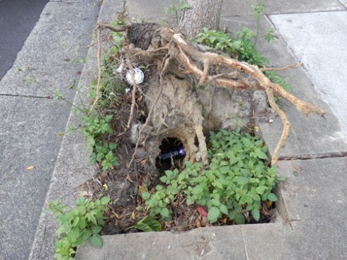 Street tree failure in Marrickville giving us a rare look at the roots as well as conditions underneath ground level.