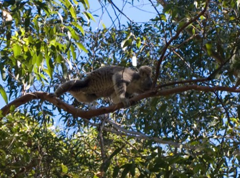 A close-up of the Koala in the above photo. This is the one-legged, one-eyed Koala who was climbing incredibly well.