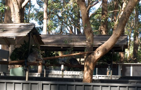 I was impressed with the living conditions for the Koalas.