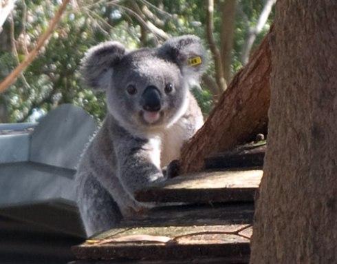 Eye contact with an incredibly cute Koala
