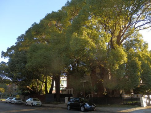 These lovely trees are landmark trees in Marrickville. That they are Camphor laurels is not a  problem as there are so many hard surfaces & they are not spreading to nearby bushland.  They are a problem in rural areas though.