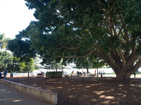 The lovely Hill's Fig next to the children's playground in the Town Green.  Nice to see a large tree providing shade & offering a place for kids to climb.