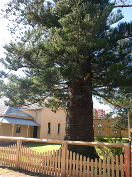 The very old Norfolk Island pine in the grounds of the old Court House, built in