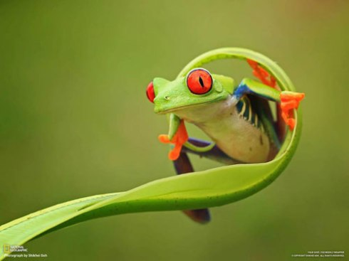 Red-eye tree frog.  Photo by Shikhei Goh for National Geographic with thanks