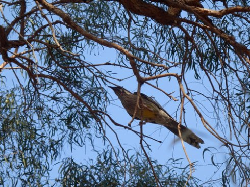 This Red Wattle bird was hopping all over the canopy while I was there.