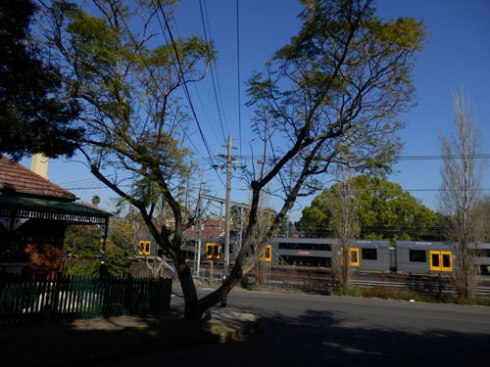 Jacaranda tree - notice the powerlines cutting straight through the canopy.