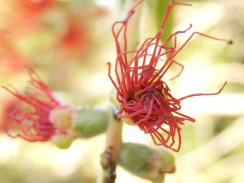 Bottle-Brush-flower-photo-by-Saving-Our-Trees