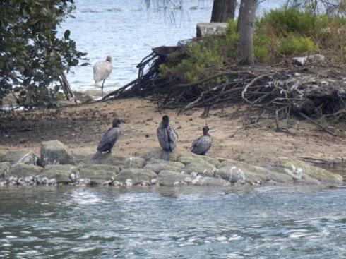 An Egret & three Cormorants resting on Fatima Island in the Cooks River at Tempe