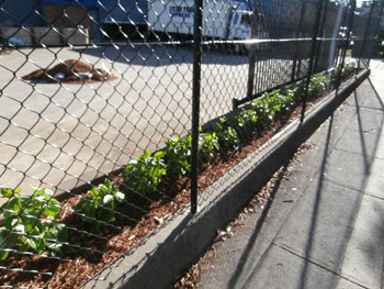 A factory between Renwick & Carey Streets Marrickville recently planted 260 plants to form a hedge.  This will help combat the heat generated from their carparks.
