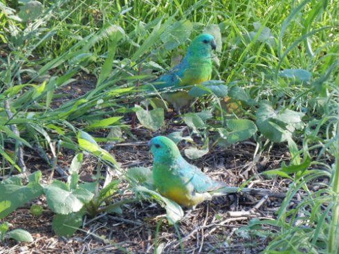 Red-rumped parrots - just one of a quite large selection of bird species that relies on the lawn grass atTempe Reserve.