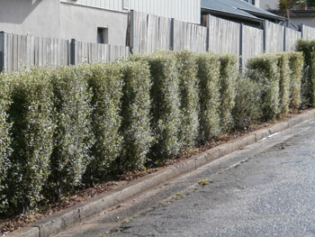 Residents have planted along their fence line in a Stanmore laneway.  This hedge not only bring beauty, it also lowers the urban heat island effect.