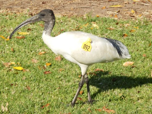 This juvenile Australian White Ibis has a wingtag and a band on his leg.