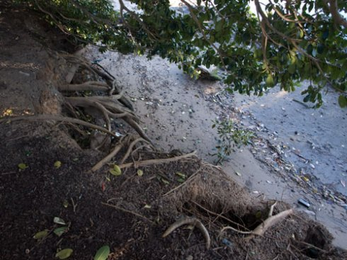 Erosion with fig tree roots