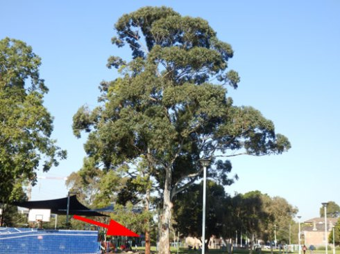 The red arrow points to the tree removal September 2013.  The tree that has had all its branches removed is the magnificent tree in the centre.
