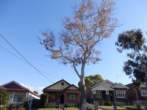 Gum outside 12 Pine Street Marrickville.  This was one of the best trees in this street.