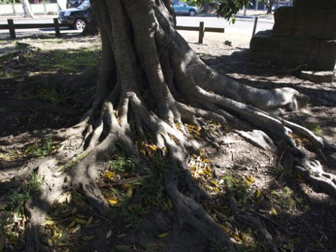 The lower trunk & root system.