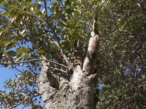 Not much canopy left, but lots of holes for wildlife.  This tree makes me wonder if the trunk cannot be kept, made safe & made an insitu home for wildlife like microbats & birds that need hollows.  There are so few trees that offer this.