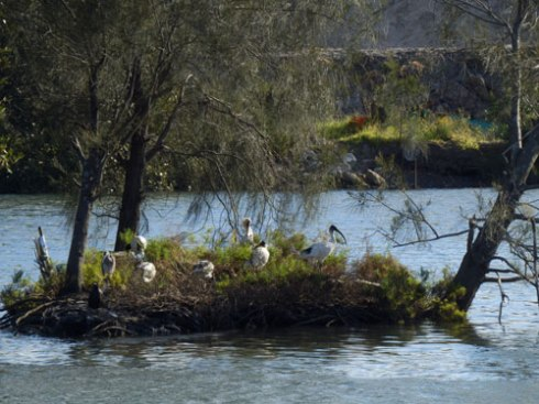 Five Ibis, one Royal Spoonbill &; one Grey-faced Heron taking a midday break on what is left of Fatima Island, opposite Kendrick Park in Tempe.  October 2013.