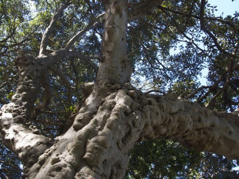 Looking further up the trunk of the Fig tree that may become public art.