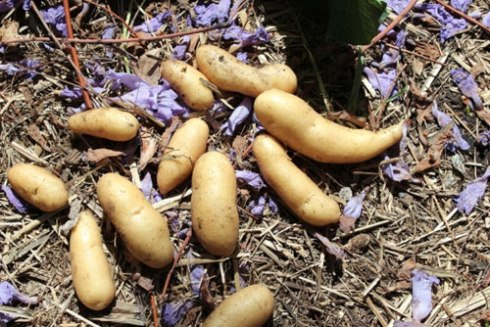 Permaculture potatoes grown in Dulwich Hill
