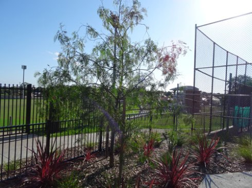 I am very glad Council planted a Pepper tree here.   These were once standard trees in school playgrounds as they provide fantastic soft shade & kids like the smell of these trees a lot.  I have great memories of the Pepper tree at my school.
