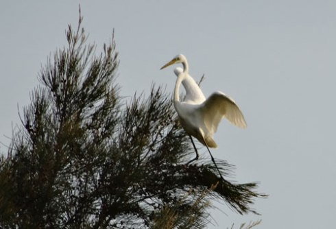 Great Egret at the very top of a Casuarina tree