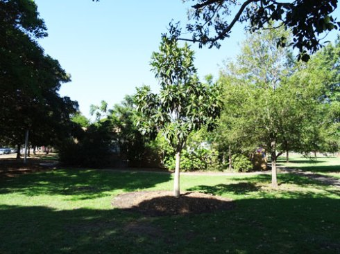 Brand new advanced Fig tree near the southern entrance planted in an empty space of lawn.