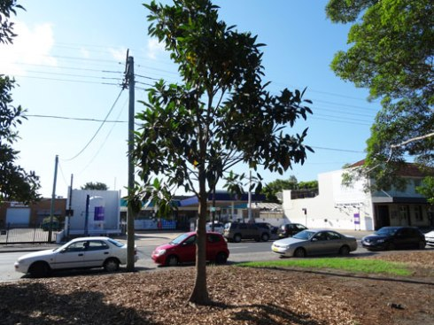 New advanced Fig to replace the large Fig tree on the Victoria Road side of the park.