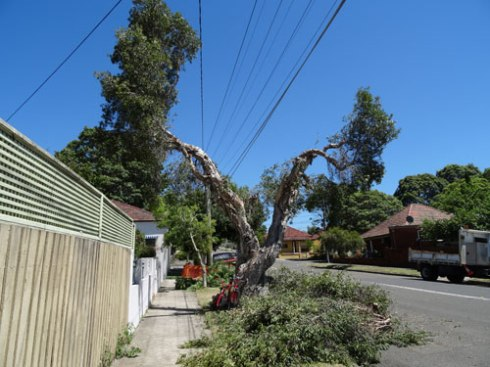 Every Melaleuca tree along Renwick Street now looks like this one. Photo 2014.