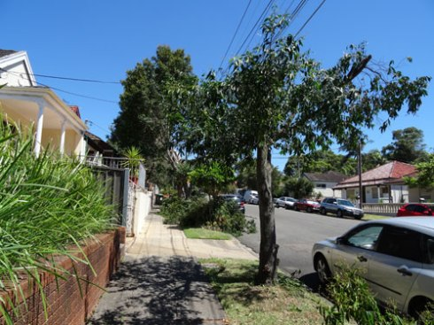 A Lily Pily - expected to grow up to 15 metres.  Why would you plant this tree under power lines?