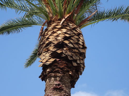 Canary Island Date Palm Pruning