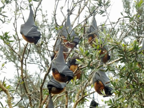 Flying foxes are experiencing enough trouble aong the eats coats of Australia.  Let's make sure that they don't also have to contend with dangerous netting.