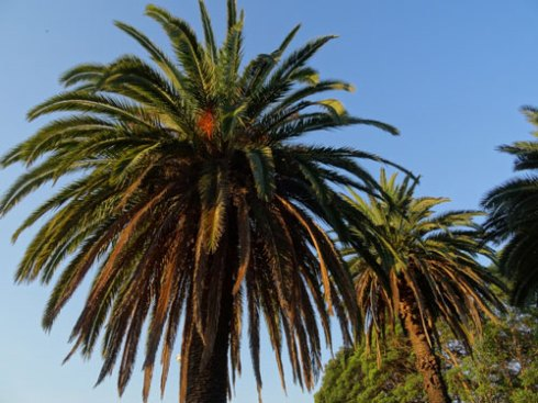 Compare with the palms at Laxton Reserve Dulwich Hill