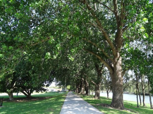 The fantastic & much loved row of Poplar trees at Mackey Park.  On the left are the two Mackey Park Fig trees.