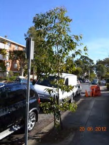 Tree to be removed outside 115 Cambridge Street Enmore.  Photo by Marrickville Council used with thanks.