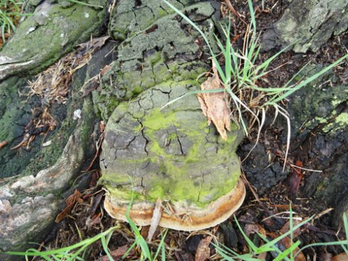 bracket fungus at base of trunk