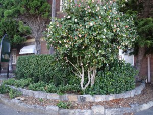 The plants in the garden will be the same as shown, but this Camelia will be removed.
