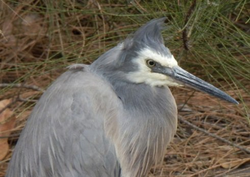 White-faced Heron seen in Marrickville.   No points for guessing how much biodiversity impacts on my life.