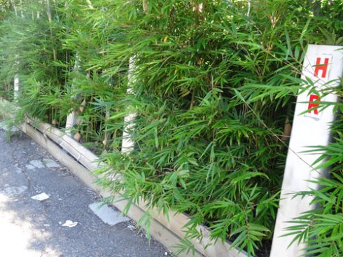 Bamboo to create a green wall.