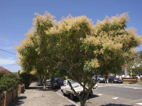 Thankfully the weedy Fraxinus griffithii will be less used as a street tree.