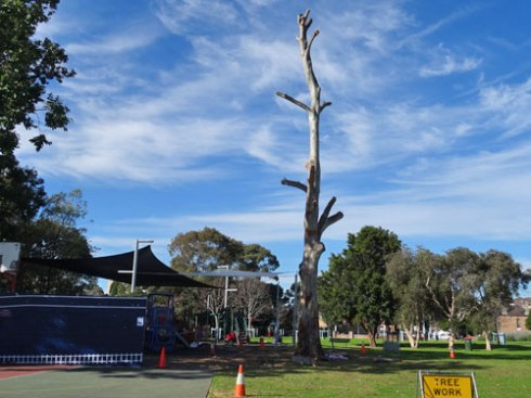 Here is the Sydney Blue gum last Thursday.