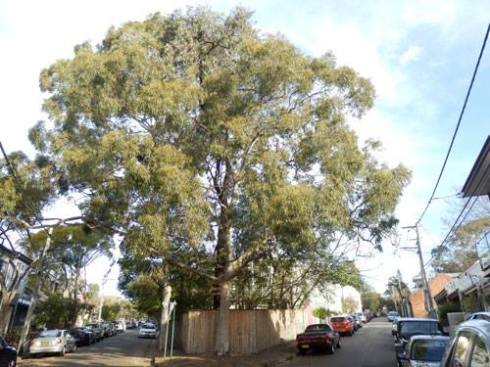 This is one of the most beautiful corners in Newtown. I don't know how these two Gum trees were planted here, nor why the Council chainsaws haven't arrived. Frankly, it's a miracle. No one seems to mind. There is room for one pedestrian to pass & there is always the footpath on the other side of the road. The birdsong is wonderful.