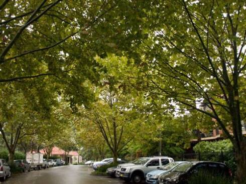 The incredibly beautiful Willimans Parade in Dulwich Hill will be the only street with Plane trees.