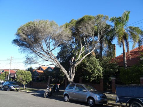 Giant Honey Myrtle to be removed.