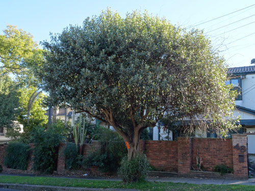 Public Tree Removal In Stanmore Saving Our Trees Marrickville