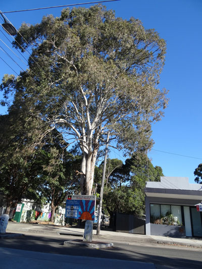 This beautiful tree at the entrance of the Addison Road Centre in Marrickville was recently assessed as being aged 150-years plus.   It would be a good contender.